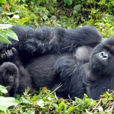 uganda gorilla safaris, gorilla trekking in Uganda, Uganda gorillas, trekking gorillas in Uganda