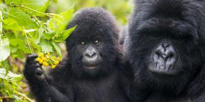 Gorilla trekking in Rwanda, Gorilla safaris in Uganda, Trekking gorillas in Rwanda, Rwanda gorilla tours, gorilla safaris africa