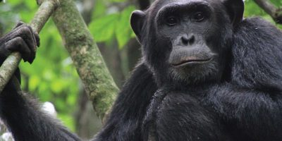 Chimpanzee habituation experience in Uganda, Chimpanzee trekking in Uganda, Chimpanzee tours in Uganda, Uganda safaris, Primate safaris in Uganda