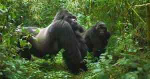 Gorilla trekking in Rwanda, Rwanda silverback gorillas, gorillas in Uganda, trekking gorillas in Rwanda, Rwanda gorilla tours, Rwanda gorilla tracking safaris
